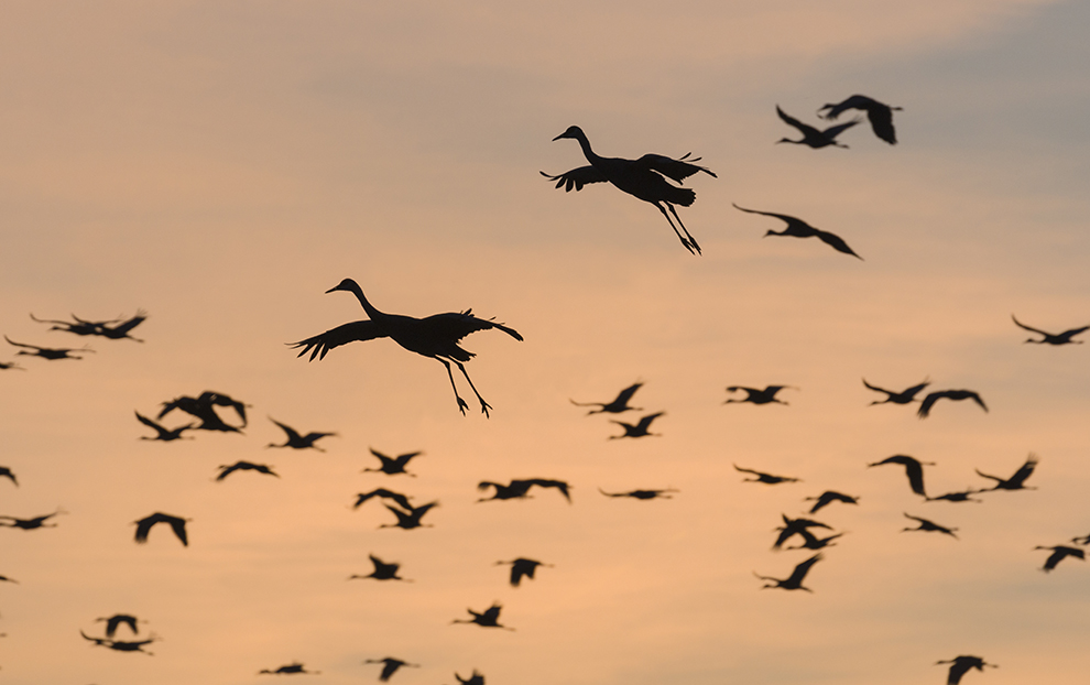 Sandhill cranes landing at roosting site before sunset - photo by Ted Thousand